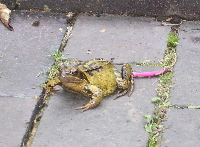 20070927toad_2
